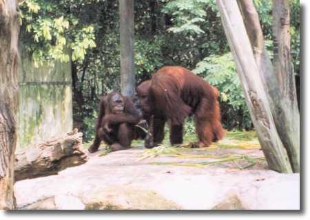 オランウータン シンガポール動物園(オランウータン) Singapore セ