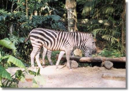 しまうま シンガポール動物園(しまうま) Singapore セントーサ島と
